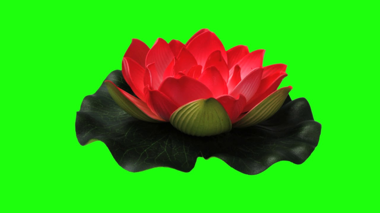 Green screen footage lotus flower 100 free to use free stock green screen footage lotus flower 100 free to use free stock footage izmirmasajfo
