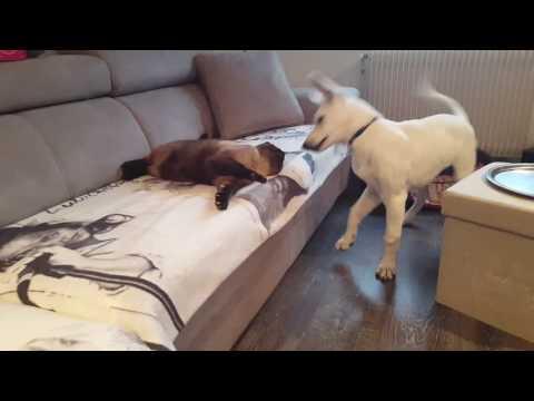 Berger blanc suisse comme chien et chat