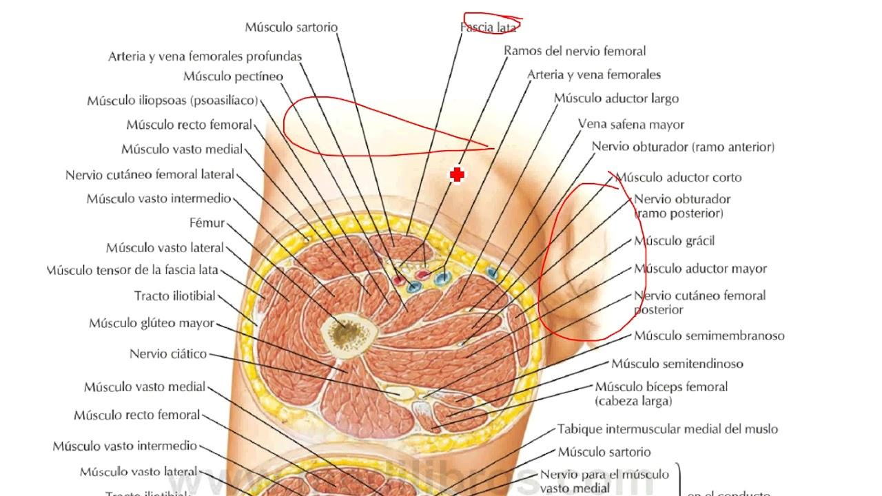 Fascias Anatomia Miembro Inferior Ivan XD - YouTube