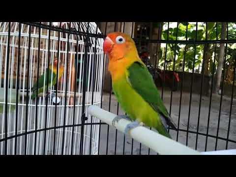 Masteran suara burung lovebird ngekek panjang josh