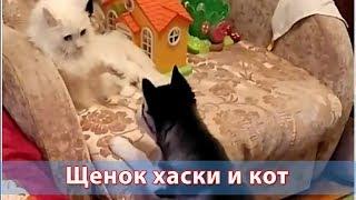 Щенок хаски нападает на кота