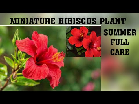 Miniature Hibiscus Summer Plant Care How To Get More Flower In Your
