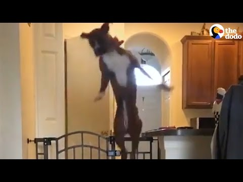 Dog Loves Jumping Over This Gate When His Mom Calls