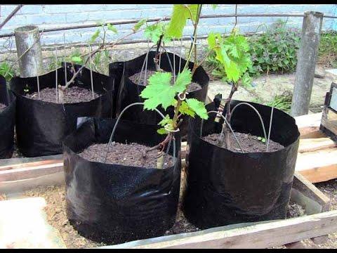 Выращивание саженцев винограда в домашних условиях. Болезни
