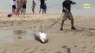 СПАСЕНИЕ ЖИВОТНЫХ. Детеныш Белой акулы оказался выброшенным на берег.