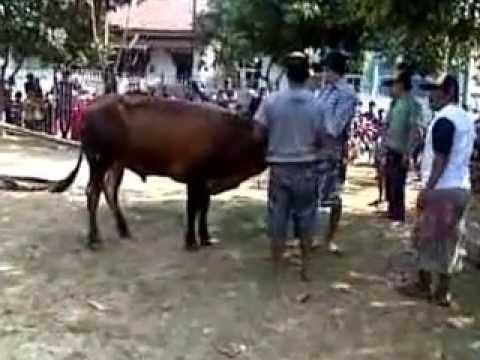 Pelaksanaan pemotongan hewan Qurban 2014