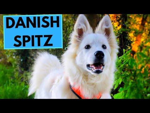 Danish Spitz  TOP 10 Interesting Facts