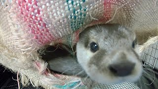 Aty doesn't get out of the room so I voyeur [Otter life Day 149] アティが部屋から出てこないので盗撮してみた