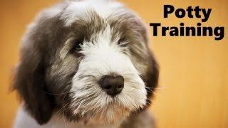 How To Potty Train A Polish Lowland Sheepdog Puppy - House Training Polish Lowland Sheepdog Puppies