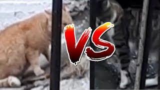 Μάχη γάτας! {Cat fight} {MLG}