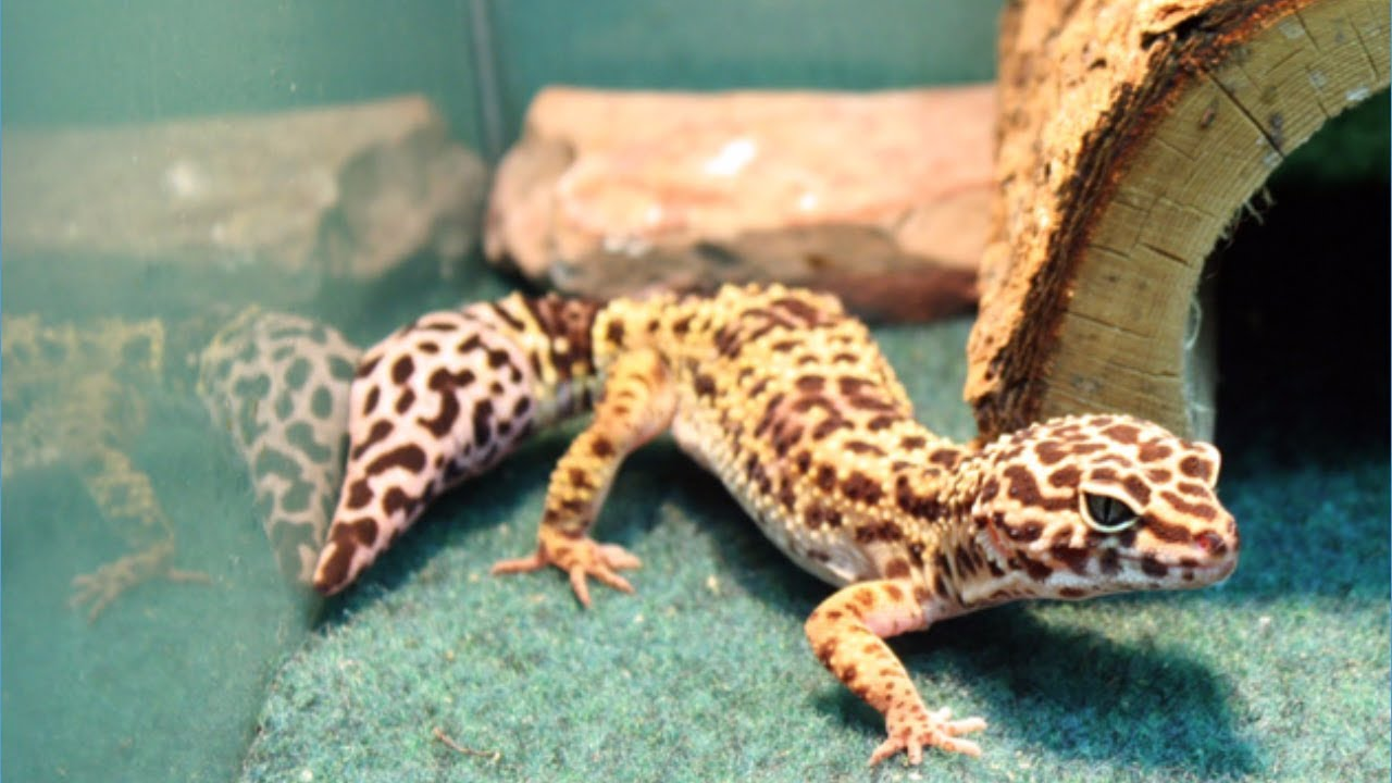 Budidaya Leopard Gecko, Hobi Yang Menghasilkan Jutaan Rupiah - YouTube