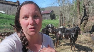 did-our-goats-have-babies-update