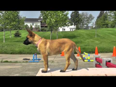 Malinois Puppy Training 12 weeks 4