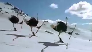 Crazy Ostrich Skiing from Mountain - Amazing - Fake or Real Ostriches