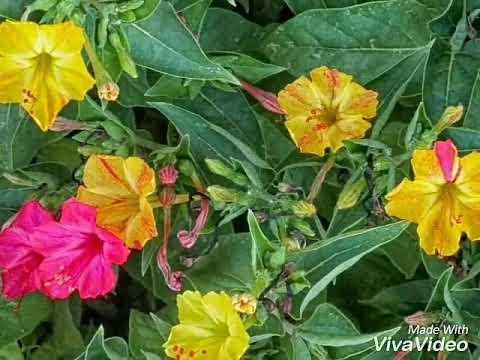 No 115 how to care mirabilis4 oclockgul abbasgula bassi beauty floweringplant seasonalfloweringplantcaretips mightylinksfo