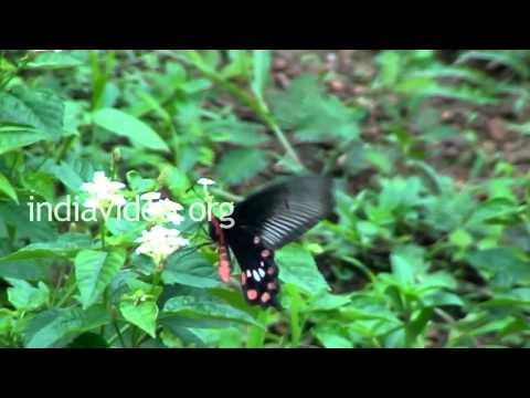 Butterflies of Kerala - Common Rose