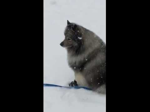 inside warm or outside cold-keeshond loves snow!