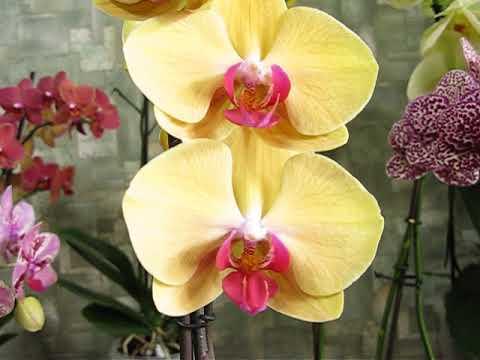 Новая орхидея!
