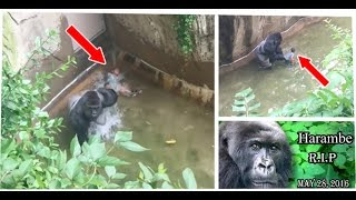Harambe Gorilla Shot At Zoo After A Child Falls Into Pit I Mother's Message I Full Story I The Cusps