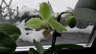видео Как Добиться Цветения Орхидей