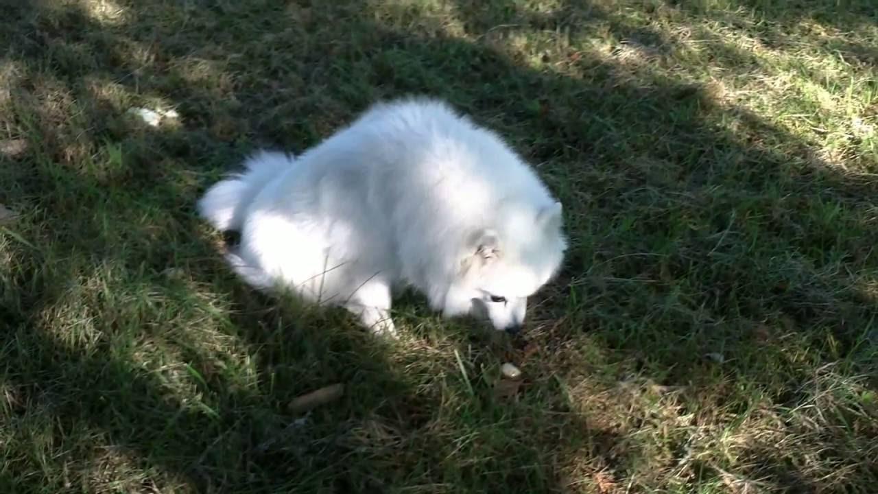 Dogs Eat Grass -- Acid Reflux -- Dog Eating Grass Vomiting ...