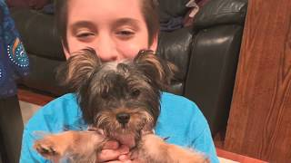 Watch Luna the Silky Terrier Grow 1 year