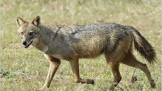 Про животных: обыкновенный шакал