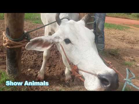 Man Breed cow In My Country #01
