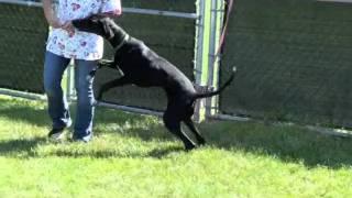 Meet Dana A Doberman Pinscher Currently Available For Adoption At Petango.com! 6/15/2011 12:26:39 Pm
