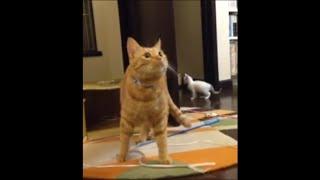 いろんな猫と遊びたいひろし君。 ひろしの弱点は耳なようですね。 兄猫...