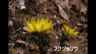 神戸市立森林植物園の花(春)(H29年3月18日撮影:フルーツトマト) BGM...