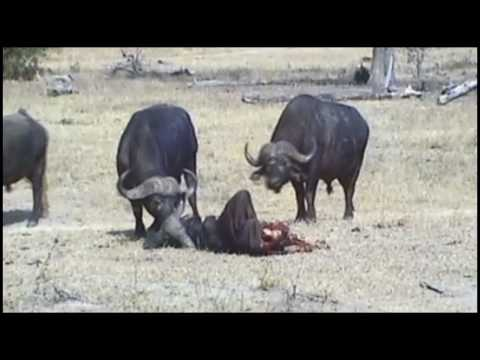 Cape Buffalo Checking Out Carcass