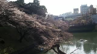 東京お花見散歩 千鳥ヶ淵の桜 2018.3.22  Sakura thumbnail