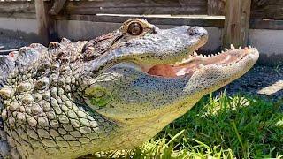 Trapjaw the Amazing American Alligator!
