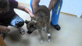 Тоша сразу после операции в ветеринарной клинике