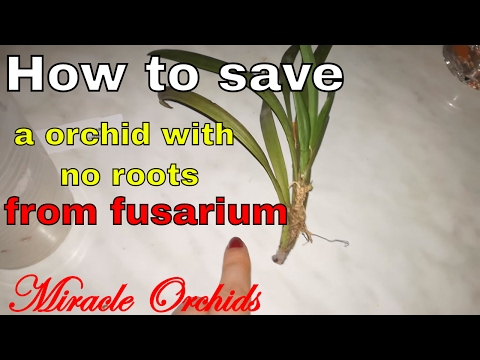 How To Treat For Fusarium Orchids With No Roots!