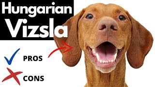 Hungarian Vizsla Pros And Cons | The Good AND The Bad!!