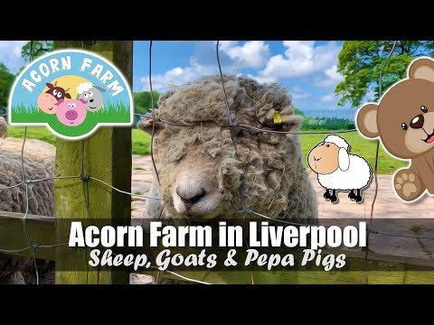 Acorn Farm In Liverpool | Sheep, Goats & Pepa Pigs | Friendly Farm Animals
