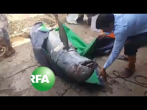 Death of Mekong Dolphin Renews Concern Over Hydroelectric Dam