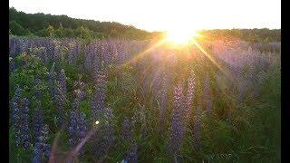 Огромное поле красивых цветов люпинов! Гоша в море цветов!