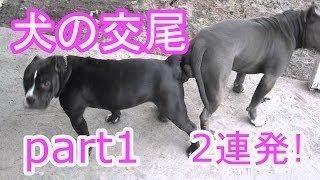 【関連動画あり・交尾シリーズ】 なんとも激しい犬の交尾。 まずは2連発...