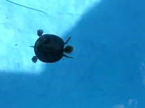 baby turtle in my pool - YouTube