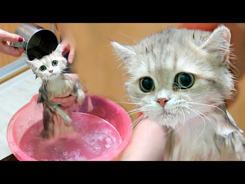 First bath for British kitten