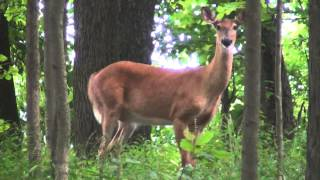 Mammals USA... White-tailed Deer (stomping and huffing)