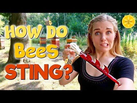 How Do Bees Sting?   Maddie Moate