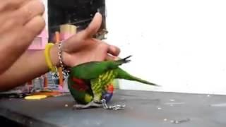 Burung Nuri Pelangi Maluku Pintar