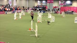 Little Lion Dogs compete at 2017 AKC Agility Invitational! Alfie & ...