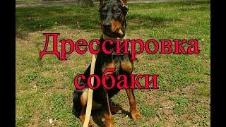 Дрессировка, обучение щенка пинчера послушанию, хождению рядом, повороты на месте и в движении.