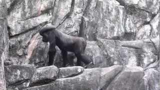 2012.03.31撮影 千葉市動物園のゴリラのローラちゃんは、かなりのNice...