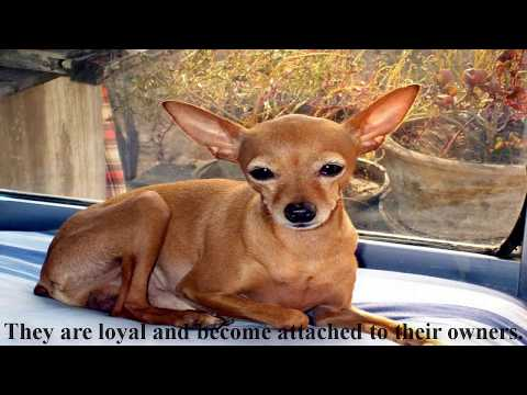 How To Use The Chihuahua Dog-Popular dog Breeds